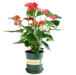移动专享: 诗樱 红掌盆栽 带花苞